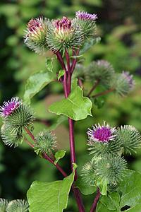 Лекарственное растение лопух большой