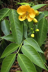 Лекарственное растение сенна александрийская