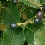Лекарственное растение лавр камфорный
