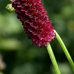 Лекарственное растение кровохлебка лекарственная