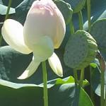 Лекарственное растение лотос орехоносный