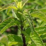 Лекарственное растение мята перечная