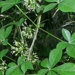 Лекарственное растение элеутерококк колючий