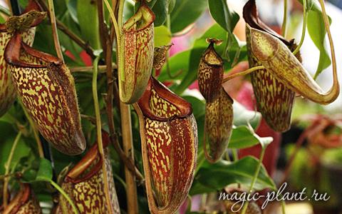 Плотоядное растение непентес