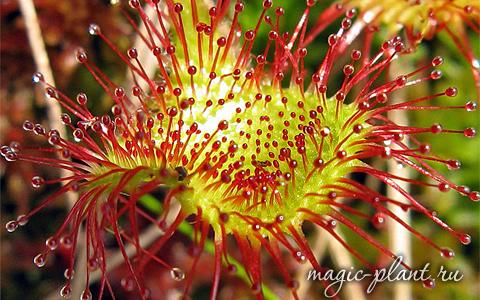 Лист плотоядного растения росянки