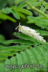 Лекарственное растение Акация Катеху